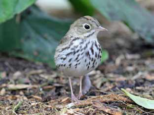 Ovenbird courtesy of Wikipedia