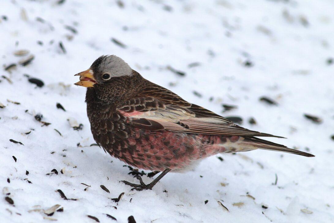 Black Rosy-Finch (Tom Benson/Flickr)