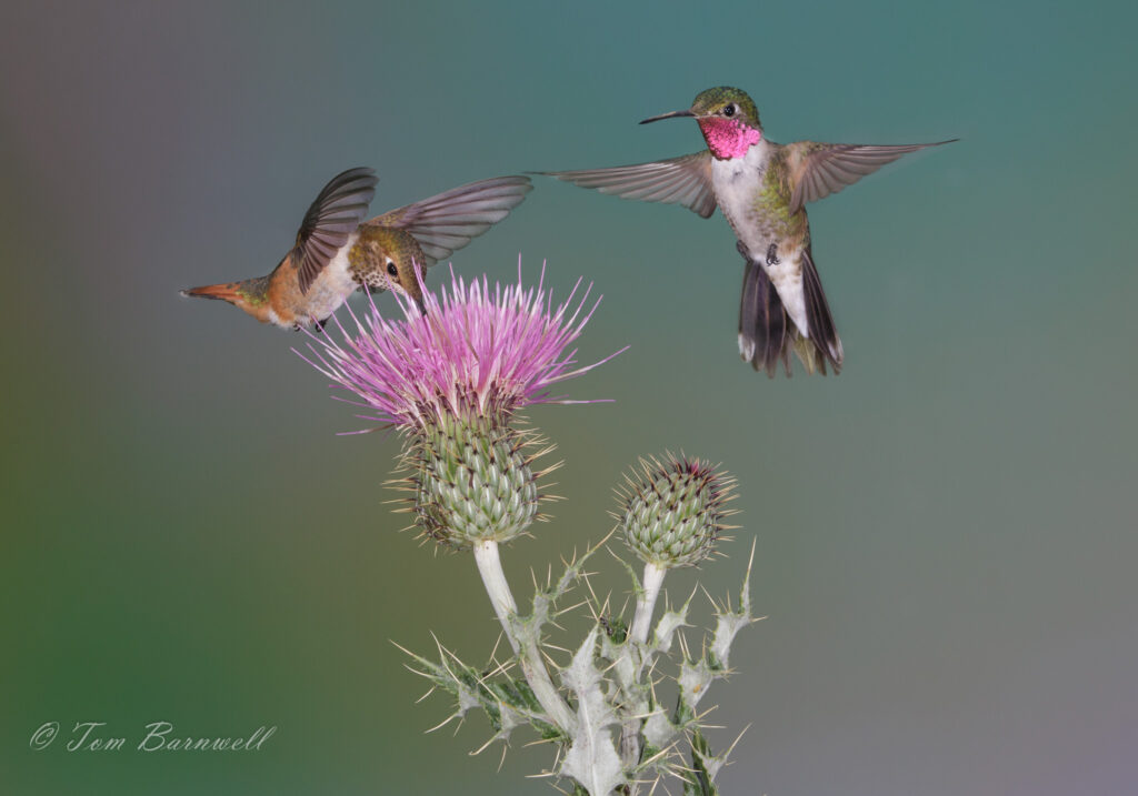 Broad-tailed Hummingbird (Tom Barnwell/Audubon Photography Awards)