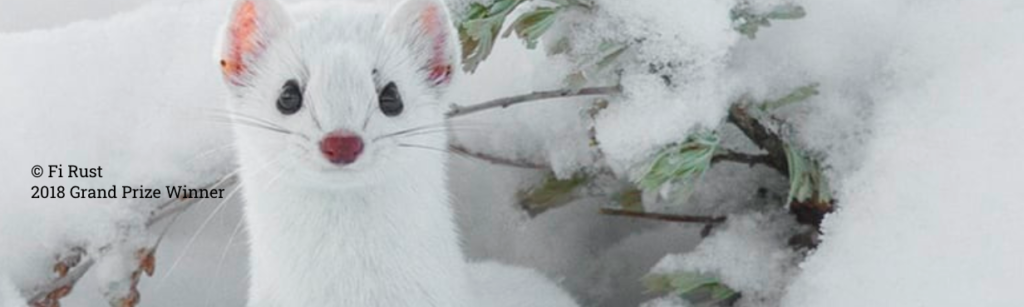 Share the view image of a white weasel 2018 grand prize winner.